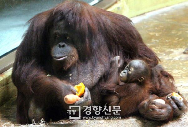 동물원의 오랑우탄이 새끼를 안고 있는 모습. 경향신문 자료사진