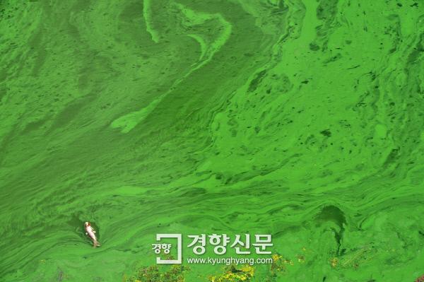 지난 8월 25일 경북 고령 낙동강에 발생한 녹조 위로 물고기 한 마리가 떠다니고 있다. | 이상훈기자