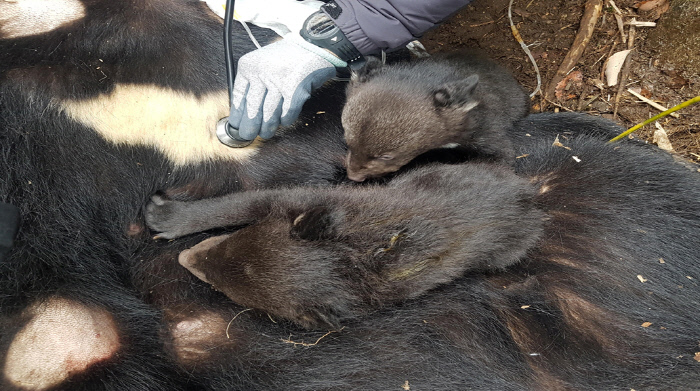 반달가슴곰(KF-27)의 새끼곰.  | 환경부 제공
