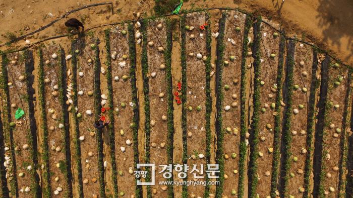 기록적인 폭염이 이어지면서 8일 경북 영주시 문수면 승문1리 한 수박밭에 강한 햇볕으로 껍질이 하얗게 변하고 속이 상한 수박들이 줄지어 버려져 있다. 이 수박밭에서는 수확하려던 6000여개 중 80~90%가 버려졌다. 영주 | 이준헌 기자 ifwedont@kyunghyang.com