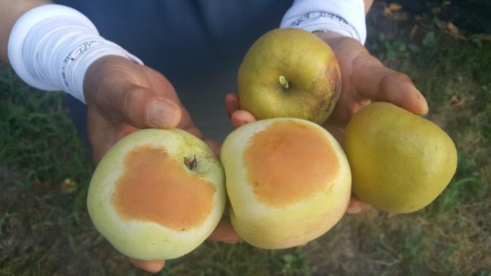 <b>썩고…</b> 경남 거창군 주상면 거기마을 한 사과농장 농민이 8일 햇볕에 타서 썩어들어가는 일소피해를 입은 사과들을 보여주고 있다. 김정훈 기자 jhkim@kyunghyang.com