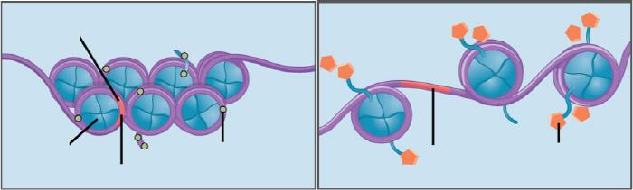 메틸기가 붙어 뭉치고(왼쪽), 아세틸기가 붙어 흩어진 뉴클레오솜들.  위키미디어 커먼스