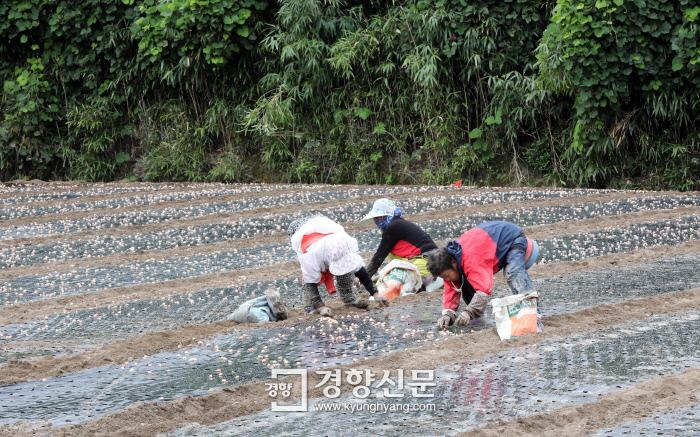 마늘 심는 오동리 마을 주민들. 추석 즈음은 농사일로 바쁘다. 품앗이를 하거나 일당을 받는다.  /강윤중 기자