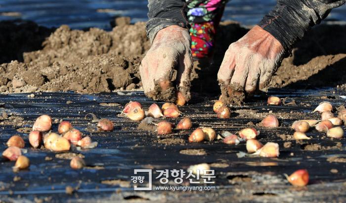 흙을 덮은 검정 비닐 위에 일정한 간격으로 난 구멍으로 마늘을 밀어넣는다.  /강윤중 기자