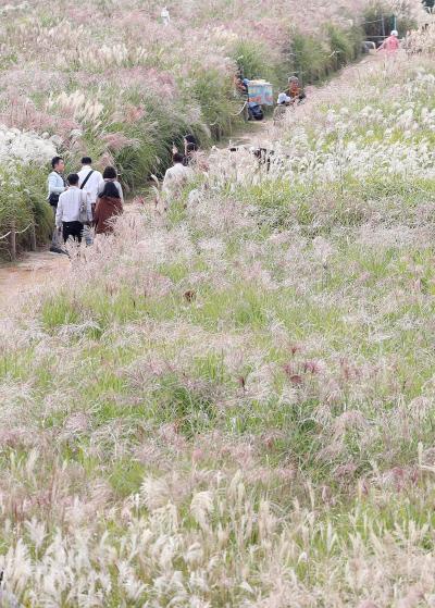 한글날인 9일 휴일을 맞아 서울 마포구 하늘공원을 찾은 시민들이 억새밭 사이를 산책하며 가을 정취를 만끽하고 있다.   | 연합뉴스