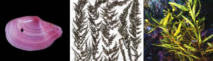 (왼쪽부터)나비접시조개, 검은싸리모자반, 긴자루구슬모자반