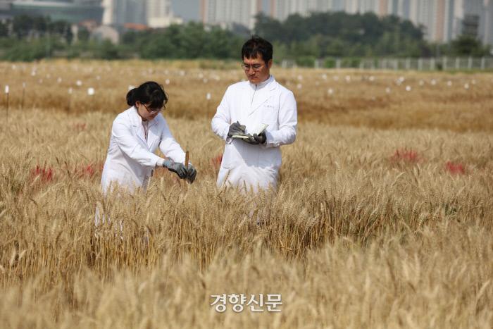 농진청 관계자들이 알레르기 유발 물질이 없는 밀 품종인 오프리의 생육상태를 점검하고 있다. 농촌진흥청 제공