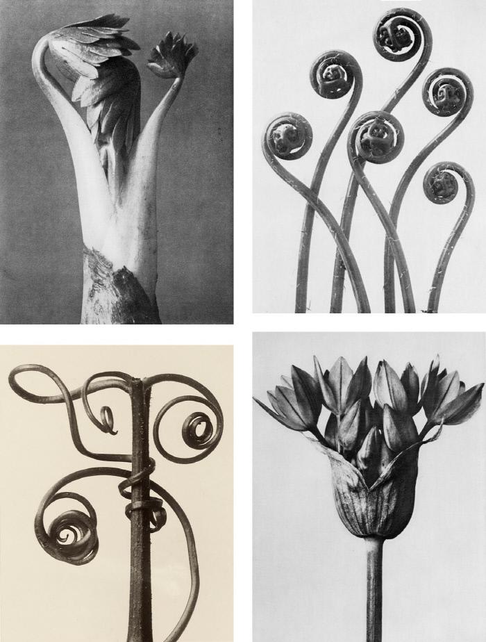 1928년에 발행된 칼 블로스펠트의 <예술의 원초적 형태들>에 수록된 마늘꽃, 공작고사리 줄기, 호박 줄기, 투구꽃(왼쪽부터) 사진들이다. / Karl Blossfeldt
