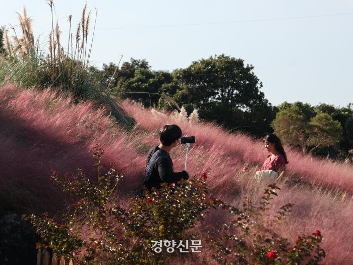 핑크뮬리는 나들이객들에게 사진 배경으로 인기가 높아 요즘 전국의 지자체와 공원들이 앞다퉈 심는 조경용 식물이다.