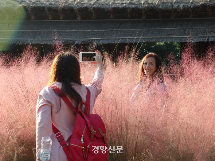 휴애리 자연생활공원의 핑크뮬리 밭에서 사진을 찍는 중국인 관광객들