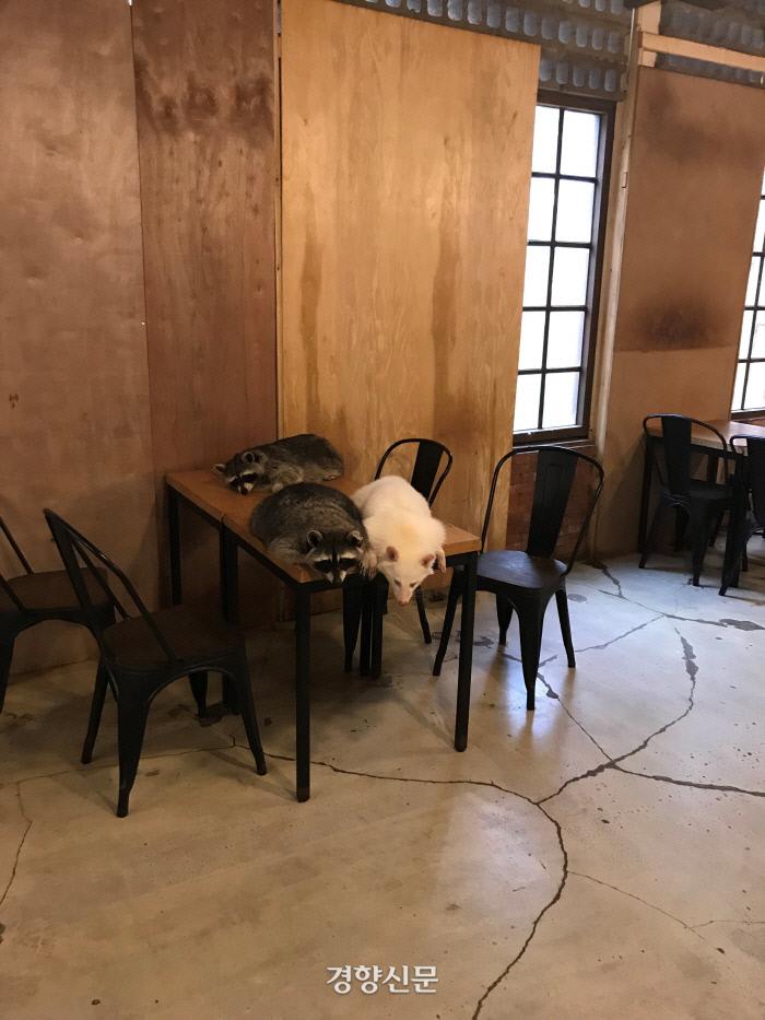 지난해 7월 서울 마포구 한 동물카페 내의 라쿤들 모습. 김기범 기자.