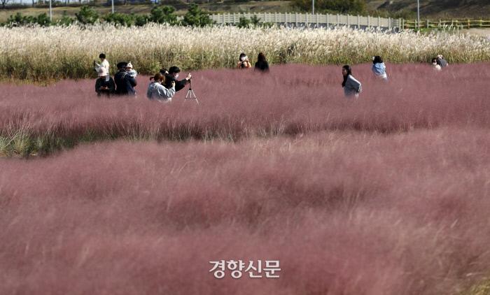 인천 운서동 하늘정원 공원의 핑크 뮬리 / 김창길 기자