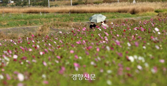 인천 운서동 하늘정원 공원 코스모스 / 김창길 기자