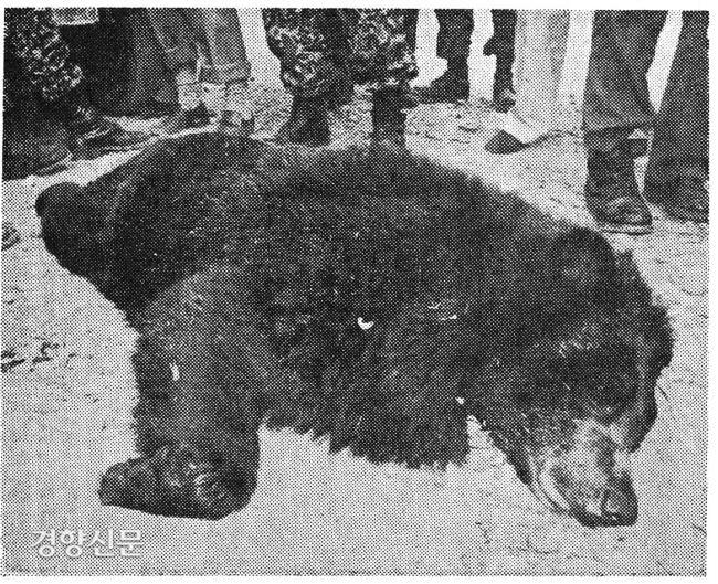 خرسی که در تاریخ 27 مه 1981 در شهر گوانگجو ، گیونگی-دو توسط اسلحه شلیک شد ، کشته شد. عکس توسط روزنامه کیونگ یانگ