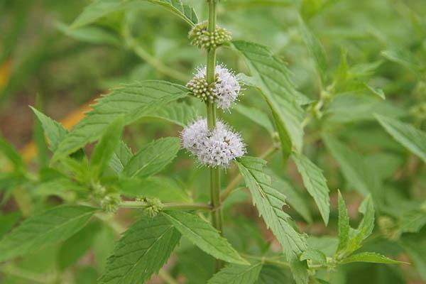 박하는 꿀풀과의 여러해살이풀이다. 한국에서는 전국의 뜰, 습지 언저리, 도랑 근처, 경작지 주변에서 자라며 북부지방으로 갈수록 자주 발견된다./위키피디아
