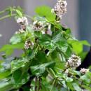 거친 장맛비에 핀 박주가리 꽃