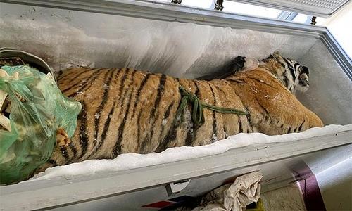 베트남 가정집 냉동고에서 160kg 호랑이 사체 발견